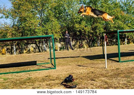Mukachevo Ukraine - September 27. 2016: Service dog without the owner overcomes the obstacle course during the first championship of the National Police of Ukraine with all-around dog handlers.