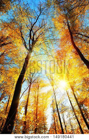 Forest scenery with the sun brightly illuminating the gold treetops and clear blue sky