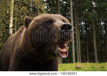 Furious wild bear in the wood roars showing his teeth
