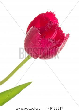 delicate bright beautiful crimson red tulip on a long thin green stalk unusual fringed varieties isolated on white background