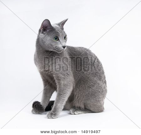 russuan blue cat