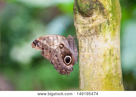 Butterfly Morpho Peleides On Tree Trunk