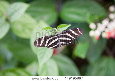 Heliconius Charitonius Butterfly On Green Leaf