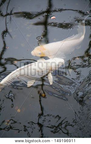 Symmetrical White Fishes Cyprinus Carpio In Pond