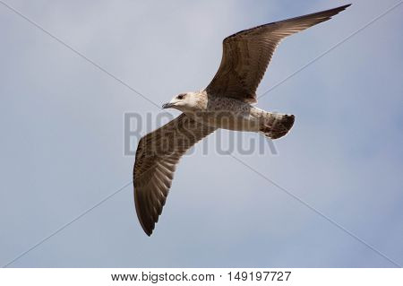 Beautiful seagull flying over the Adriatic Sea with beautiful sky in the background.