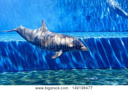 Oceanic Dolphin In Large Aquarium With Blue Water
