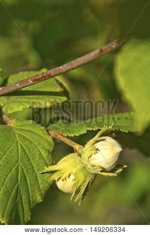 Green unripe hazelnuts on the tree. Selective focus.