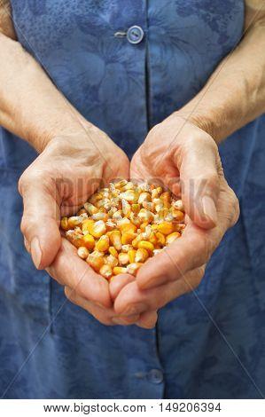 Golden maize in elderly hand. Selective focus.