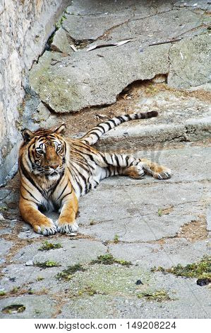 Beautiful Asian tiger relaxing on the rock
