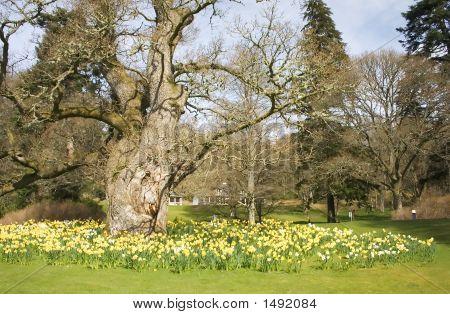 Daffodils Around The Oak