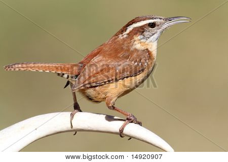 Carolina Wren Singing On An Antler
