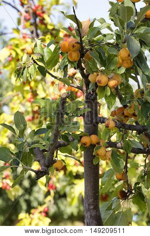 ripe and sweet fruit on the tree .Loquat Mediar