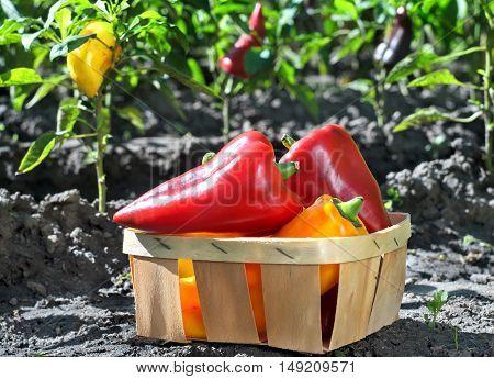 Pepper In A Basket In The Garden