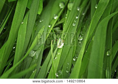 Closeup of fresh green spring grass with water drops