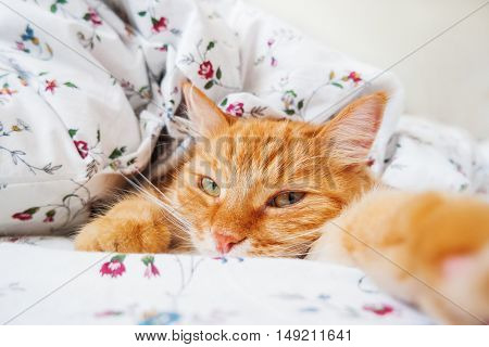 Cute ginger cat lying in bed under a blanket. Fluffy pet comfortably settled to sleep. Cozy home background with funny pet. Cat lying like it want to make selfie.