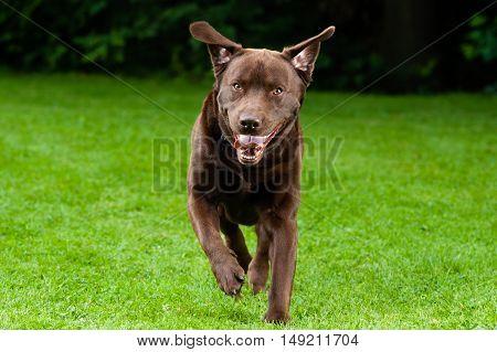Dog (Brown Labrador) running through a meadow
