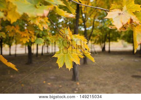 Autumn Maple Leaves In The Park