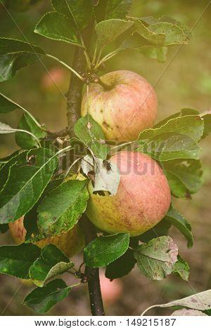 Apples on the tree in summer garden