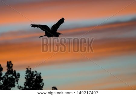 Great Blue Heron Silhouetted in the Sunset Sky As It Flies