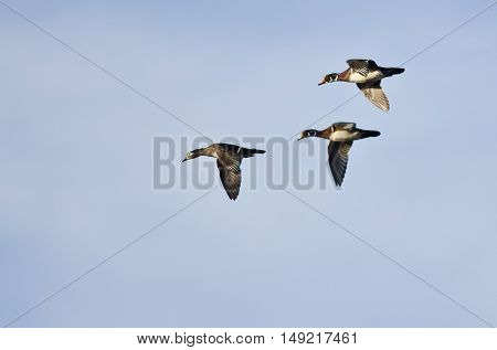 Three Wood Ducks Flying in a Blue Sky