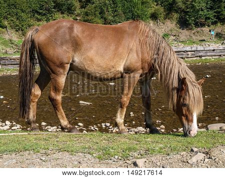Horse graze freely in mountain Carpathian River