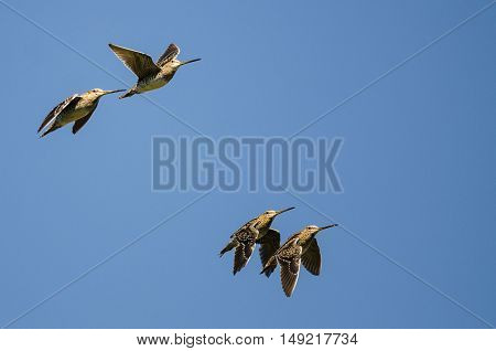 Four Wilson's Snipe Flying in a Blue Sky