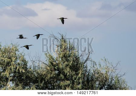 Four White-faced Ibis Flying High Above the Marsh