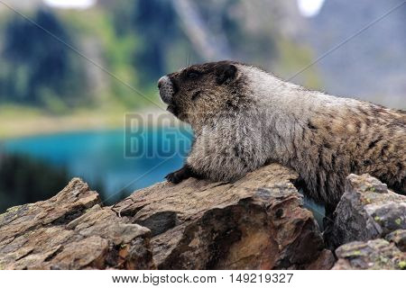 Hoary Marmot Resting on Rock with Bright Blue Lake in distance