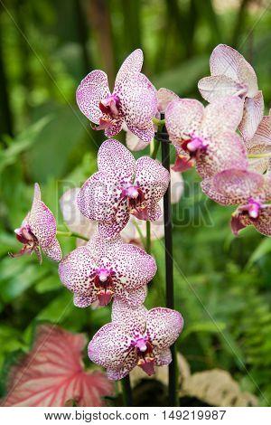 Beautiful Phalaenopsis Orchid Flower