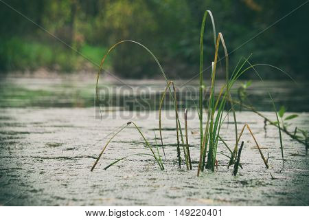 Green grass growing in the marsh, autumn nature