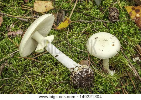 Pale toadstool (Amanita falloides) growing in summer and autumn