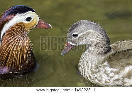 A breeding pair of mandarin ducks (Aix galericulata). Male showing the typical beautiful plumage.