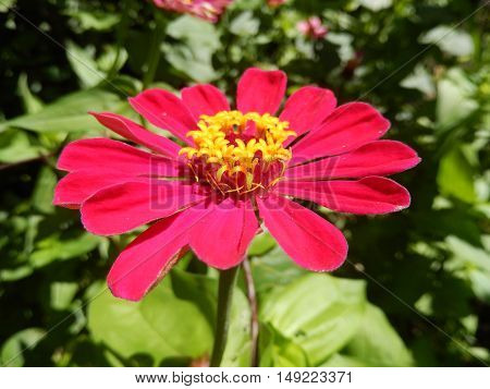 Closeup on a red perennial daisy flower blooming in the garden