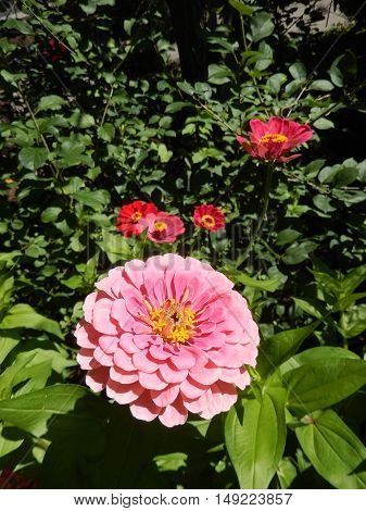 Multicolored perennial daisy flowers blooming in a garden