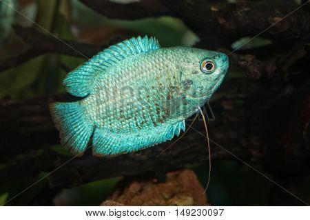 Portrait Of Fish From Genus Trichogaster (colisa) In Aquarium