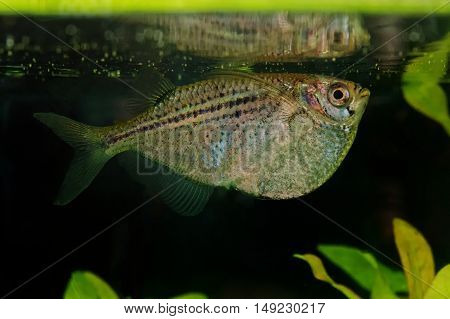 Portrait Of Tetra Fish (gasteropelecus Sternicla) In Aquarium