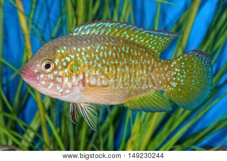 Portrait Of Cichlid Fish (hemichromis Sp.) In Aquarium