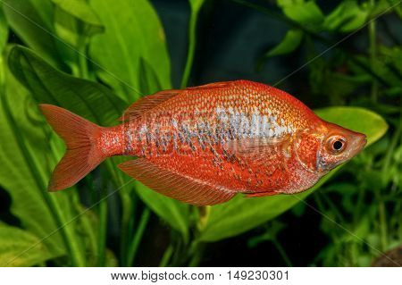 Portrait Of Rainbow Fish (glossolepis Incisus) In Aquarium