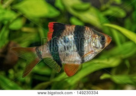 Portrait Of Barb Fish (puntius Tetrazona) In Aquarium