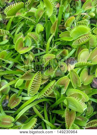 green carnivorous fly-eating venus fly trap plants