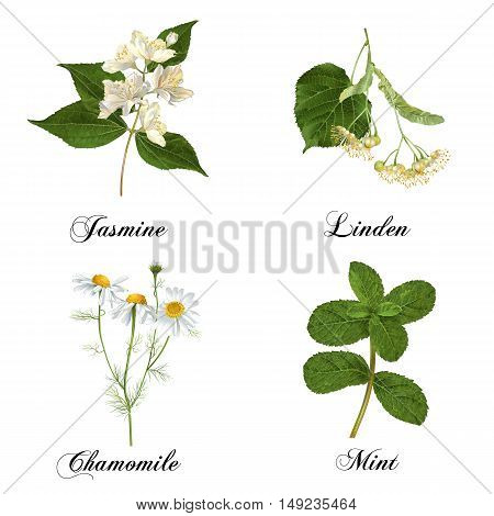 Vector realistic detailed healing herbs and plants set isolated on white. Design for cosmetics, herbal tea, homeopathy, natural and organic health care products. Most popular tea flavors.