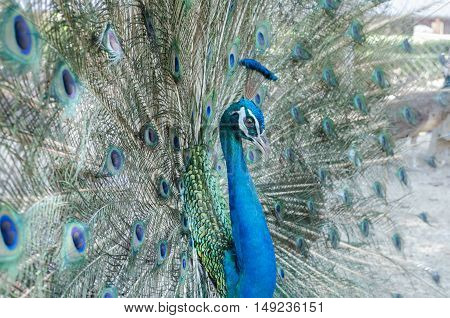male peacock show beauty blue feathers tail