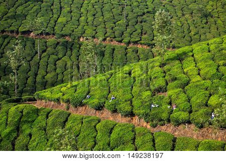Munnar, India - January 5, 2016: Tea plantations in Munnar, Kerala, India