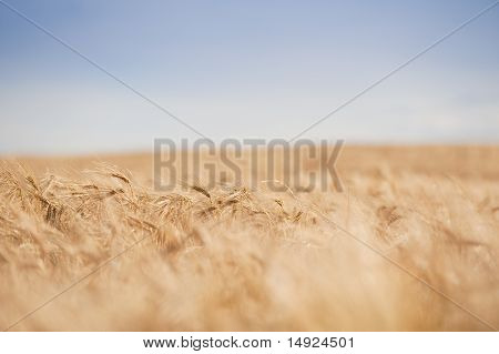 Agricultural Wheat Field