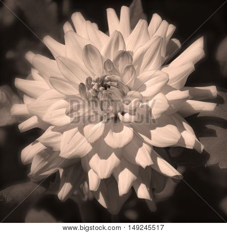 Sepia Dahlia is a genus of bushy, tuberous, herbaceous perennial plants native mainly in Mexico. Related species include the sunflower, daisy, chrysanthemum and zinnia
