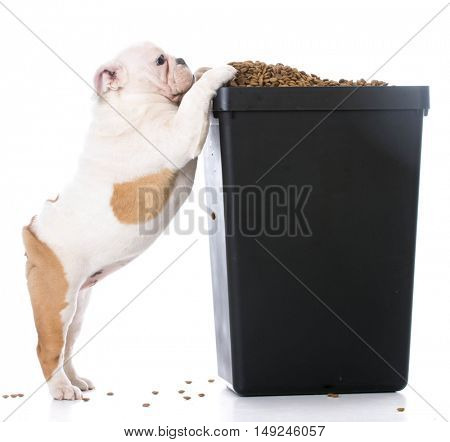 english bulldog puppy trying to sneak kibble out of dog food bin