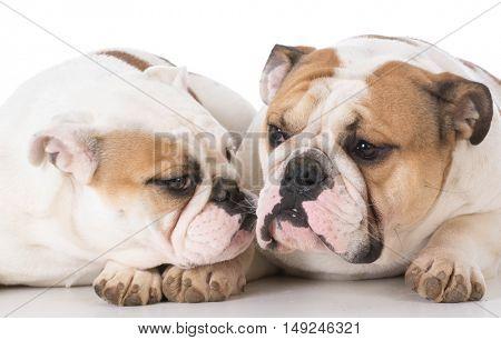two english bulldog laying down on white background