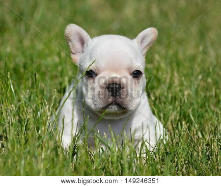 french bulldog puppy sitting outside in the grass