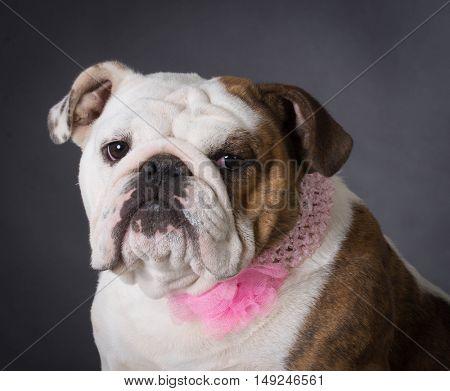 female english bulldog on black background