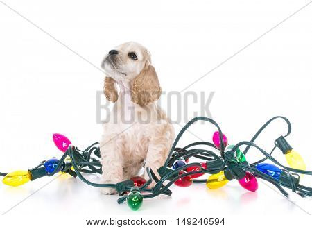american cocker spaniel puppy wrapped in christmas lights on white background